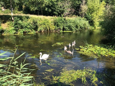 Family of swans on the Avon